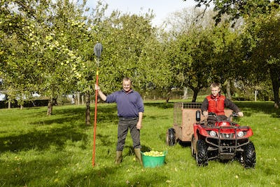 A man and his son harvesting the cider apples in an orchard.