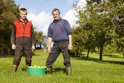 A father and son working in a family business, harvesting cider apples in an orchard.