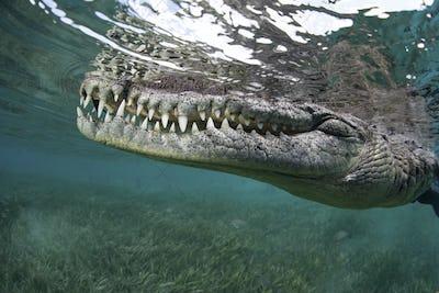 Crocodile underwater, Crocylus acutus, close up of the animal snout.