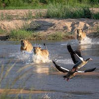 Two lions, Panthera leo, with Egyptian geese in the foreground, Alopochen aegyptiaca