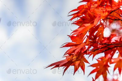 Low angle view of autumn leaves under bleu sky