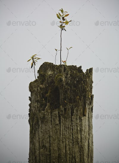 Dead Tree with Seedling
