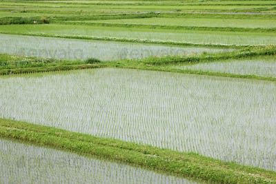 Flooded Rice Paddy Field