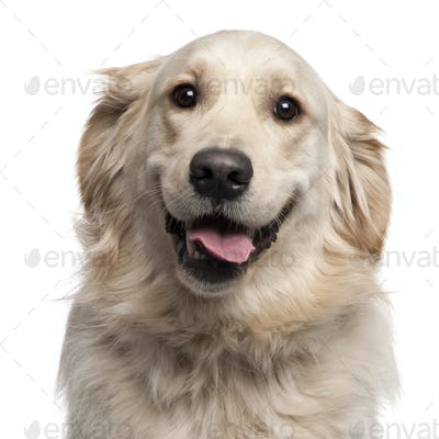 Close-up of Golden Retriever, 2 years old, in front of white background