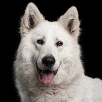 Close-up of Berger Blanc Suisse, 2 years old, in front of black background