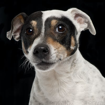 Close-up of Jack Russell Terrier, 10 years old, in front of black background
