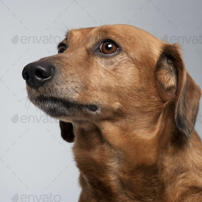 Close-up of Mixed-breed dog, 9 years old, looking up in front of grey background