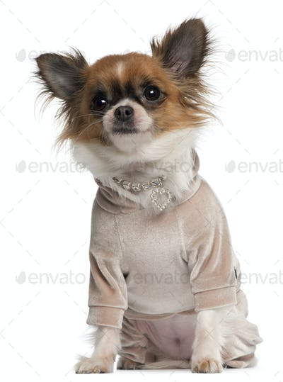 Chihuahua, 2 years old, dressed up sitting in front of white background