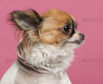 Close-up of Chihuahua, 2 years old, with diamond collar in front of pink background