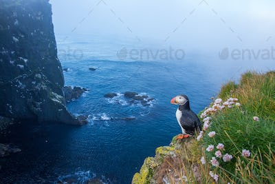 Atlantic puffin standing on cliff in summertime
