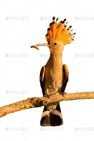 Eurasian hoopoe sitting on branch isolated on white background