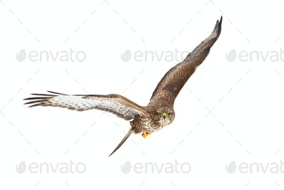 Common buzzard flying i the air isolated on white background