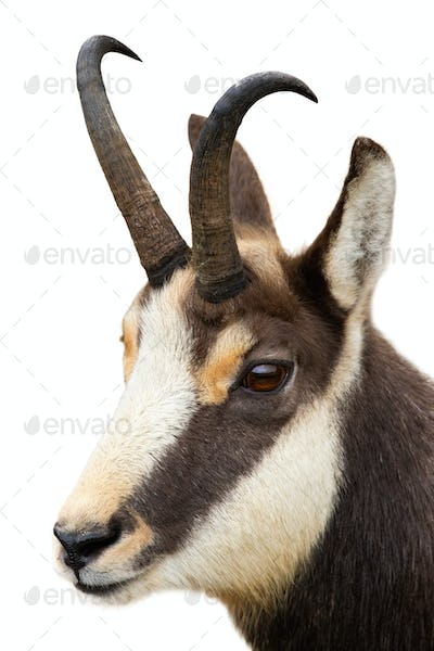 Tatra chamois looking in close-up isolated on white background