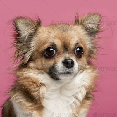 Close-up of Chihuahua, 3 years old, in front of pink background