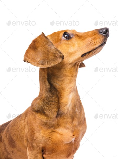 Dachshund Dog looking at a side