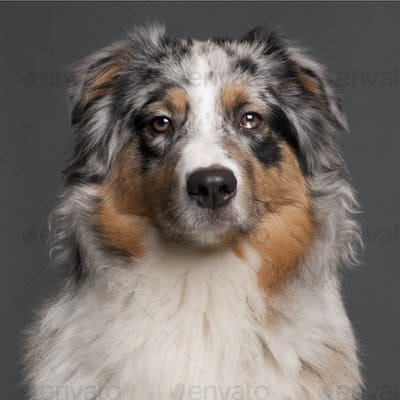 Australian Shepherd dog, 10 months old, in front of grey background