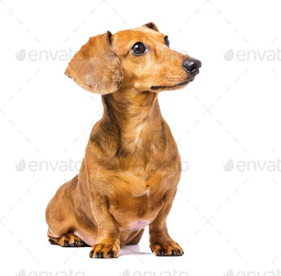 Dachshund Dog looking left