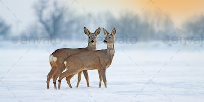 Two young roe deer standing on snow in wintertime with copy space