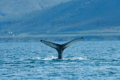 Humpback whale diving in the sea in summer Iceland