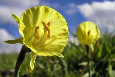 Petticoat Daffodil, Guadarrama National Park, Spain