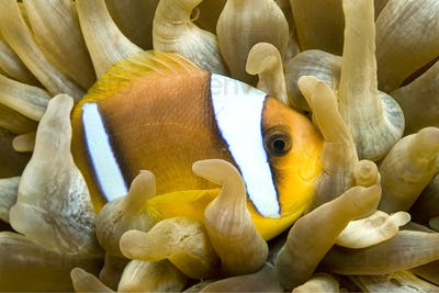 Red Sea Clownfish, Two banded Anemonefish, Red Sea, Egypt