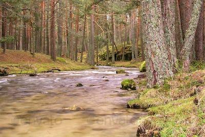 Eresma River, Scot Pine Forest, Guadarrama National Park, Spain