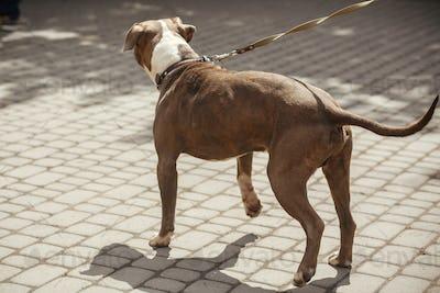 Sad pitbull portrait in sunny street, homeless dog
