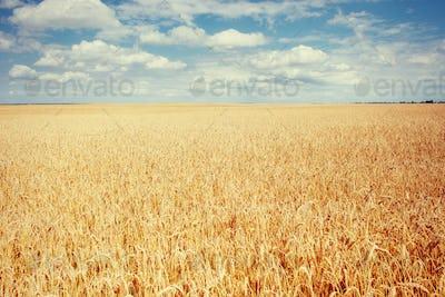 meadow wheat under sky. Beauty world. Ukraine. Europe