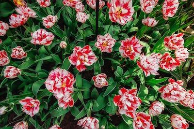 Tulip field, red and yellow, Keukenhof flower garden, Netherland
