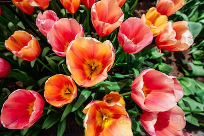 Flower field with colorful tulips. Tulipa Ace pink .