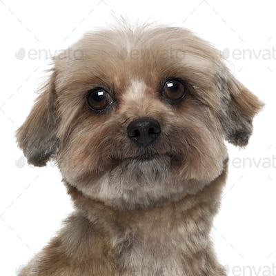 Close-up of Shih tzu, 5 years old, in front of white background