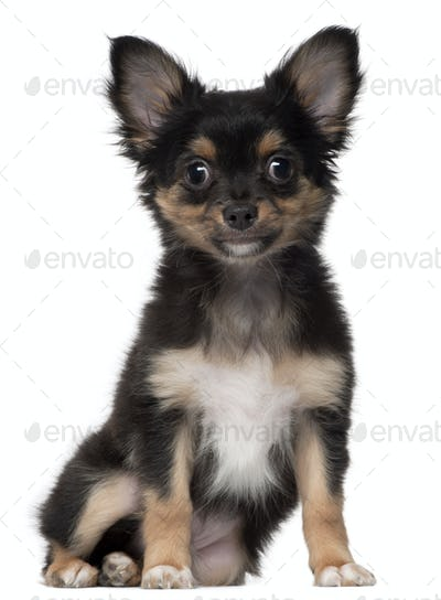 Chihuahua, 3 months old, sitting in front of white background