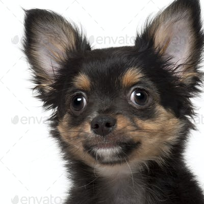 Close-up of Chihuahua, 3 months old, in front of white background