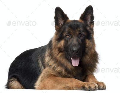 German Shepherd Dog, 2 years old, lying in front of white background
