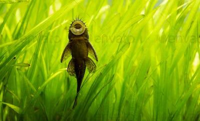 Ancistrus species longfin Bushymouth catfish on aquarium glass