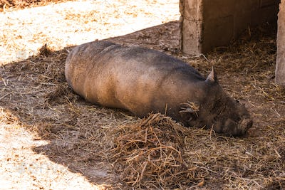 A Vietnamese pot bellied pig lying on muddy ground