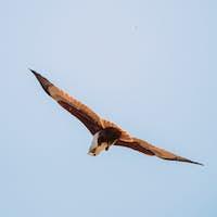 Goa, India. Brahminy Kite Eating Crab In Flight In Blue Sky