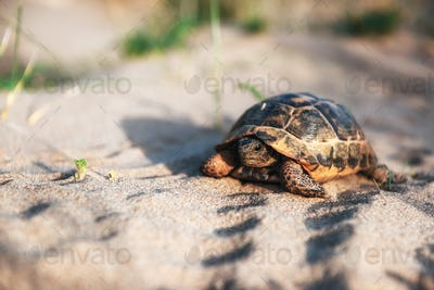 turtle goes slowly in the sand with its protective shell