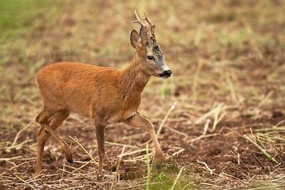 Roe deer buck walking on stubble field in summertime nature