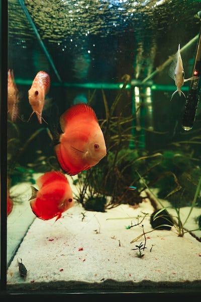Exotic fish Symphysodon discus, in an aquarium