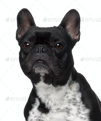 Close-up of French bulldog, 5 years old, in front of white background