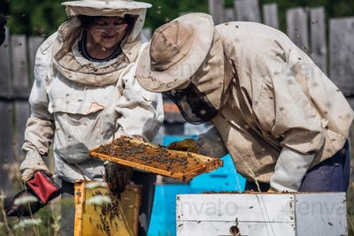 Elderly beekeepers are inspecting honeycombs. Local family apiary business