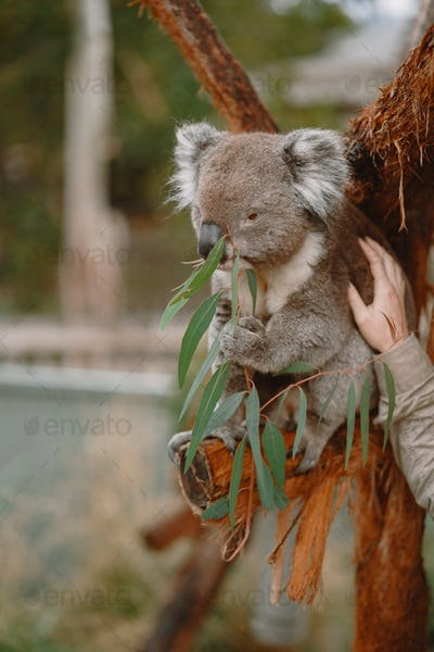 Couple in the reserve is playing with a koala