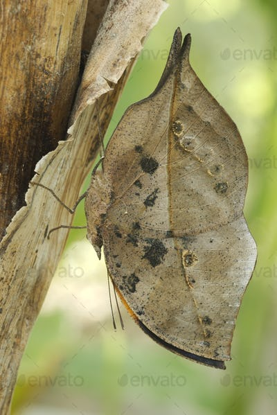 Dead-leaf or orange oakleaf butterfly, Kallima inachus