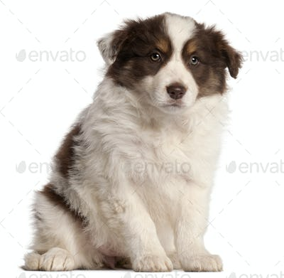 Border Collie puppy, 2 months old, sitting in front of white background