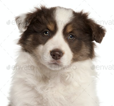 Close-up of Border Collie puppy, 2 months old, in front of white background