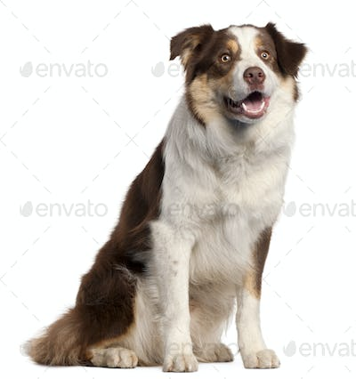 Border Collie puppy, 11 months old, sitting in front of white background