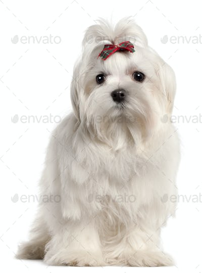 Maltese puppy, 4 months old, in front of white background