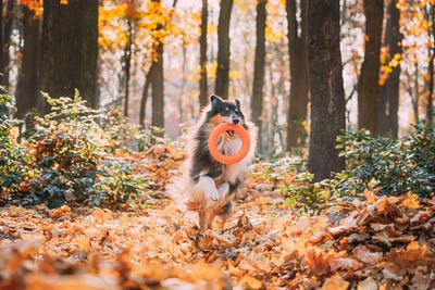 Funny Young Shetland Sheepdog Sheltie English Collie Playing With Ring Toy In Autumn Park. Tricolor