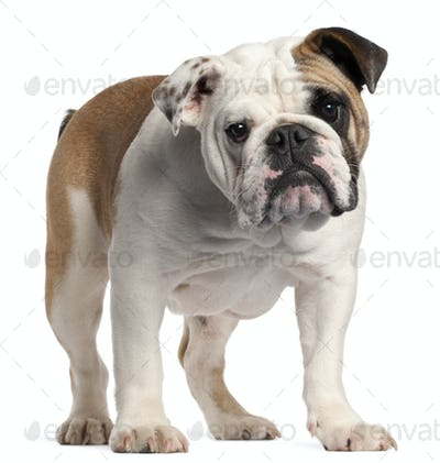 English bulldog, 7 months old, standing in front of white background